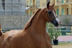 Trapani Arabian Horse Cup 2014 - International C Show