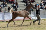Trapani Arabian Horse Cup 2014 - International C Show