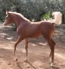 Precioso Tayma 2015 Filly