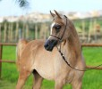 Our promising homebred colt PRECIOSO JAMAAL is on his way to Lebanon