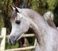 A new photo shooting of our promising young stallion Precioso Psyche ready for the 2017 show season